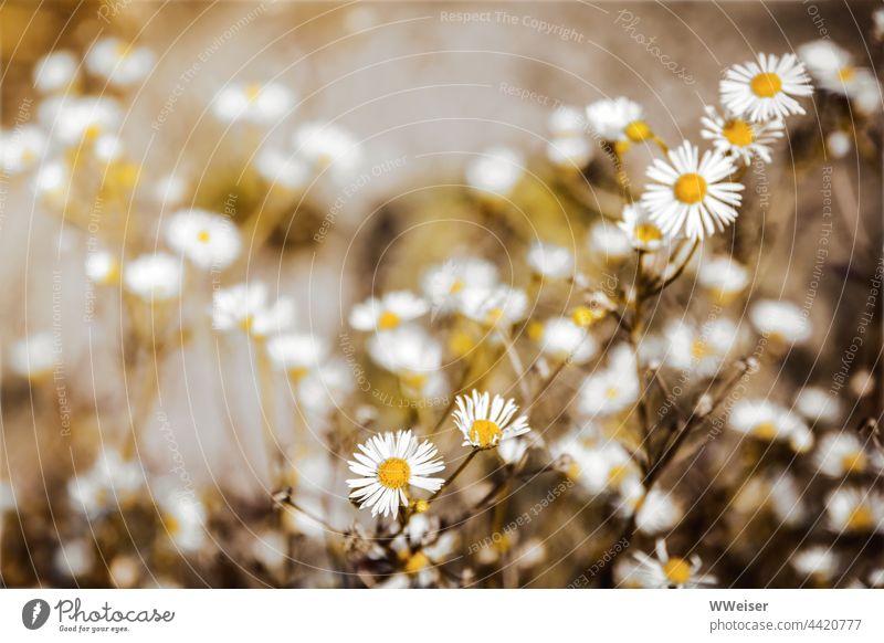 Bis in den Herbst hinein zeigen sich die sternchenförmigen Blüten auf den Wiesen und Feldern Berufskraut Blumen Pflanzen Korbblütler wild wuchern wachsen Wolke