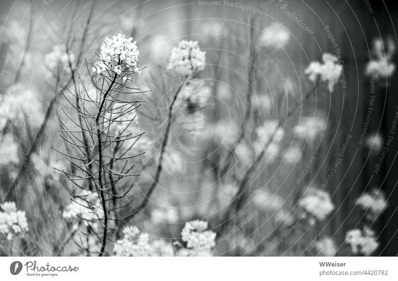 Auch das Unkraut am Wegesrand kann ganz bezaubernd sein Kraut Wiesenkraut Wiesenpflanze Pflanze wachsen blühen Stängel Blüten Grautöne grau schwarzweiß zart