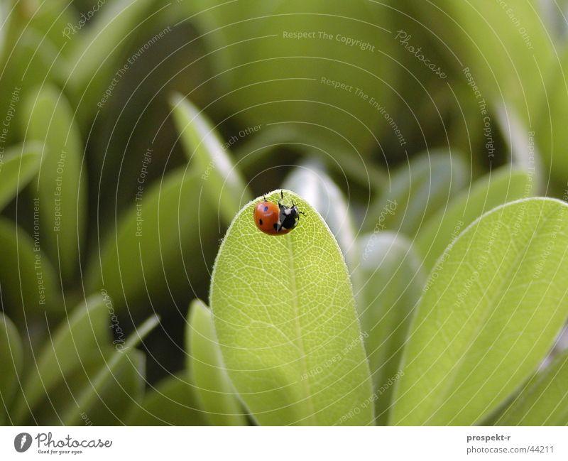 Alles im grünen Bereich - Glück gehabt! Marienkäfer rot schwarz Blatt Glücksbringer Nutztier Makroaufnahme Natur