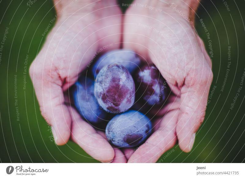 Hand voller Pflaumen - die erste Ernte pflaumen Zwetschgen halten haltend Erntedankfest ernten Erntezeit Ernährung Gesundheit gesund frisch Garten Gartenarbeit