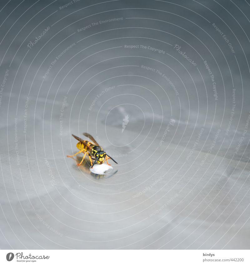 Zwischenmahlzeit Sahne Wespen 1 Tier Fressen trinken ästhetisch Originalität schön gelb grau schwarz silber Natur Plagegeist schwarz-gelb gelb-schwarz