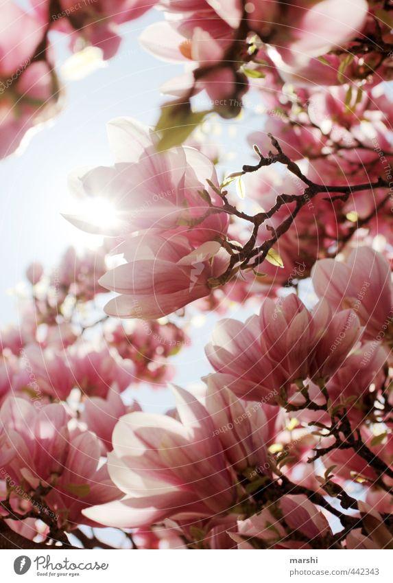 magnolietisch Natur Pflanze Frühling Sommer Schönes Wetter Blume rosa Magnoliengewächse Magnolienbaum Magnolienblüte Duft schön Farbfoto Außenaufnahme