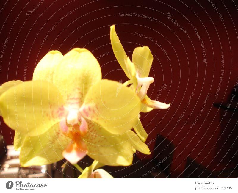 Gelb und gut Natur schön weiß Blume Pflanze rot gelb Wand braun nah Blühend Vase