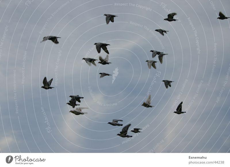 Vogelfrei Himmel weiß blau schwarz Luft Vogel Wildtier durcheinander Schwarm