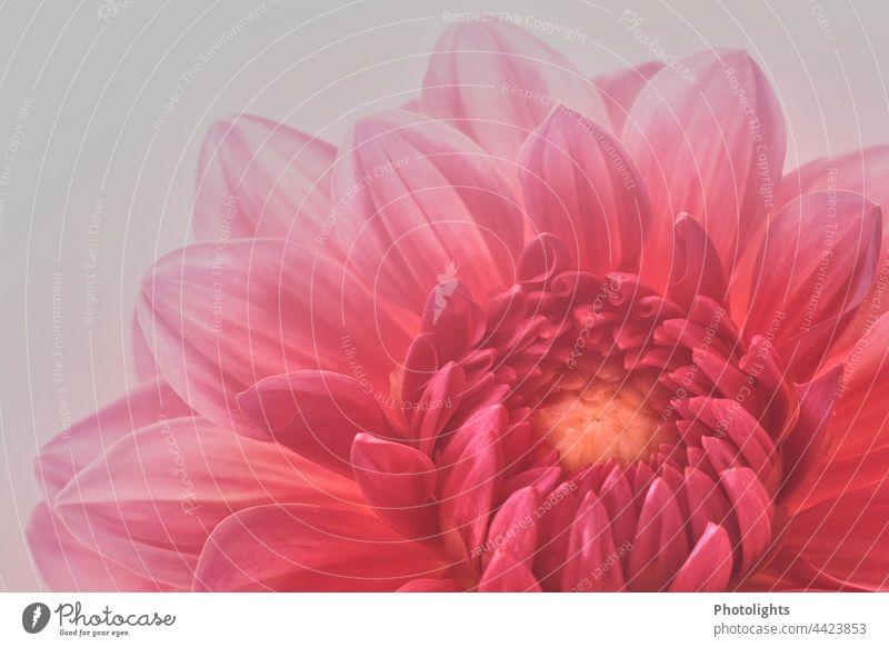 Blüte einer rosa Dahlie filigran Flora Blütenpflanze romantisch Dekoration & Verzierung farbenfroh botanisch Farbe Dahlienblüte rosarot nah natürlich elegant