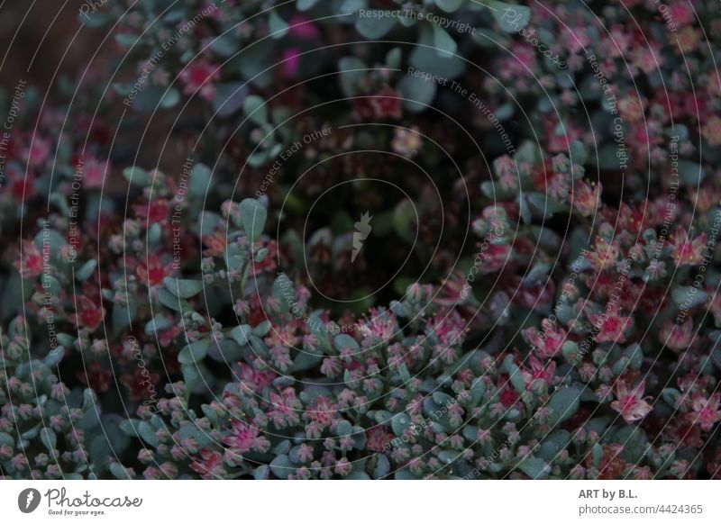 unbekannte Pflanze.... blüten blume garten bodendecker pflanze blütenmeer hintergrund zart filigran