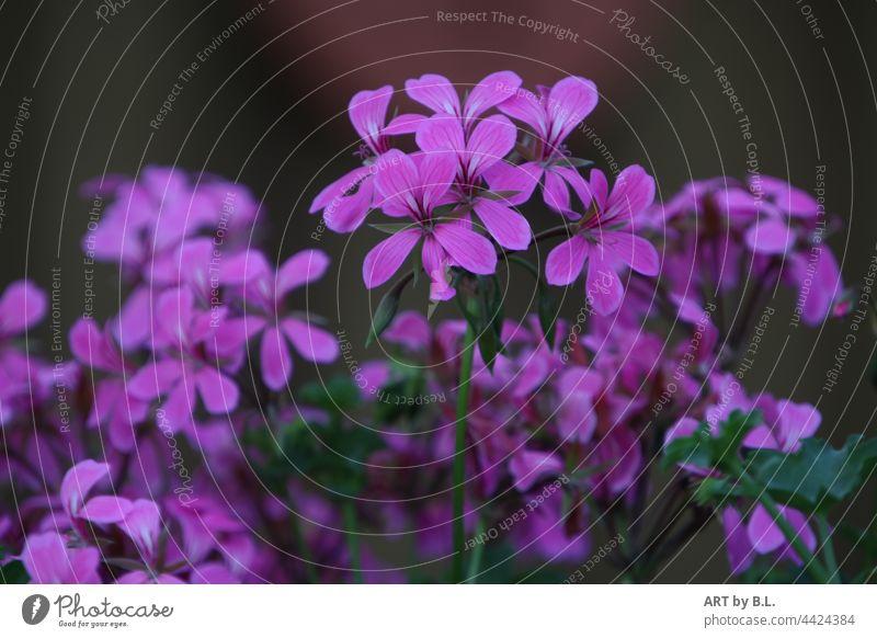 Blüten einer französischen Hängegeranie violett hängend französische Hängegeranien Pelargonium peltatum menschleer blütenblätter pink garten herausragend lila