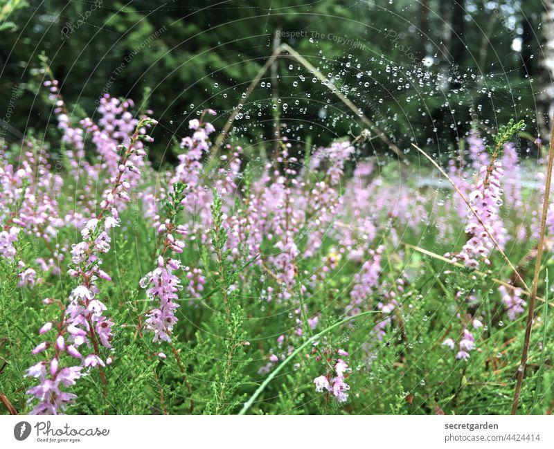 2021 Challenge Waldboden | gut vernetzt Heidepflanze Blüte Pflanzen Natur Spinnennetz Wassertropfen perlen Makroaufnahme nass Tau Nahaufnahme Tropfen feucht