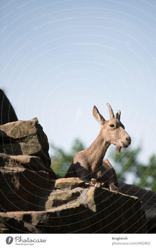 Steinbock Natur Felsen Alpen Berge u. Gebirge Wildtier 1 Tier liegen Blick blau braun Farbfoto Außenaufnahme Menschenleer Textfreiraum oben Tag Tierporträt