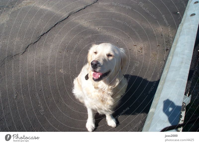 Golden Redriever Hund weißer Hund Hund sitzend