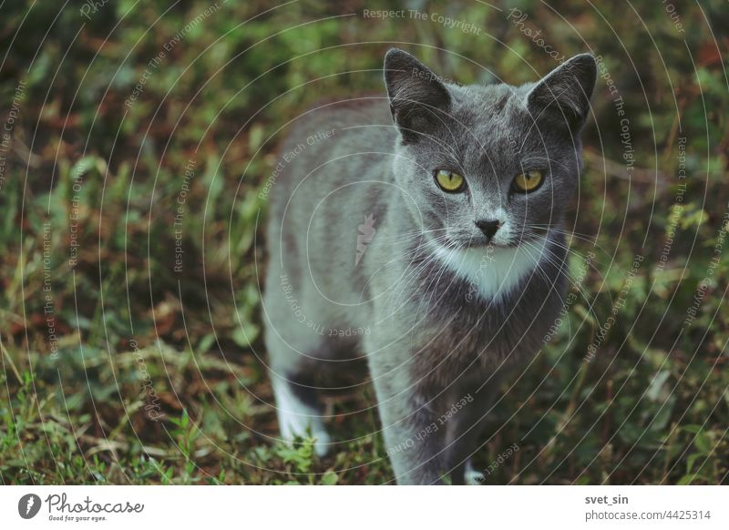 Eine silbergrau-blaue Katze mit gelben Augen und weißer Krawatte steht auf dem grünen Gras und schaut in die Kamera. Porträt im Freien Sommer Tier bezaubernd