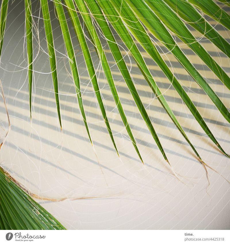 elegante Spießigkeit zimmerpflanze Mexikanische Fächerpalme Washingtonia Robusta palmblätter wand schatten sonnig blatt parallel grün