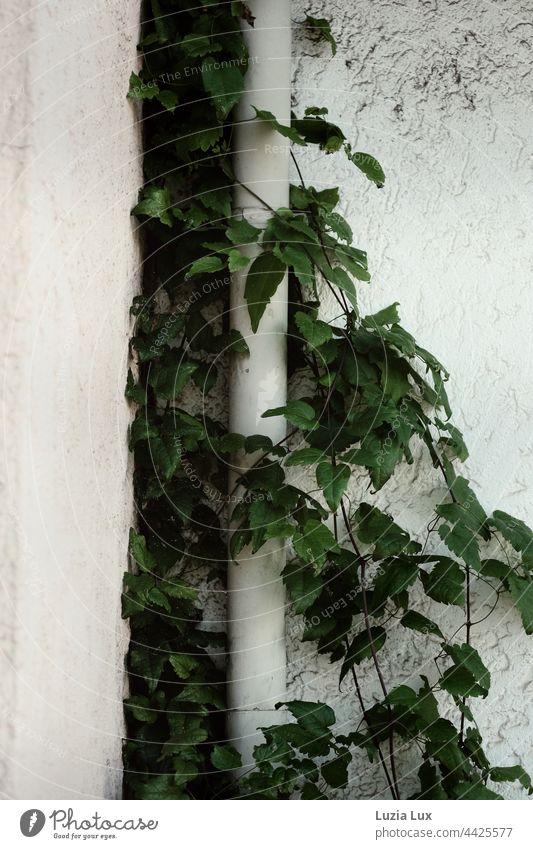 Selbstkletternde Jungfernrebe, noch sommerlich grün vor einer weißen Putzwand, klammert sich an eine weiße Regenrinne Wand Wandputz wilder Wein Schlingpflanze