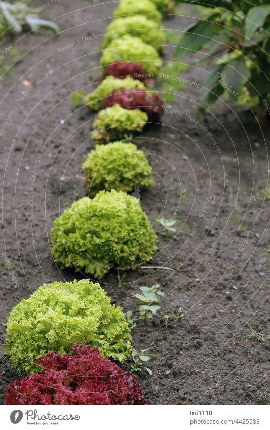 Salatköpfe im Garten Gartenerde Reihe Lollo rosso rot Lollo Biondo grün Erde Anpflanung Gemüseanbau Nahrungsmittel Ernährung Lebensmittel Gartenarbeit
