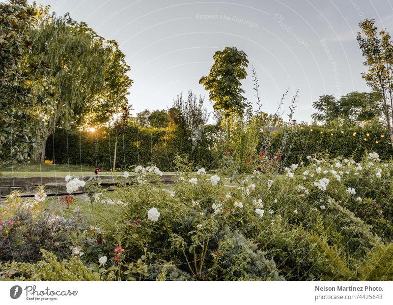 Grüner Garten mit weißen Blumen im Sonnenuntergang Pflanzen grün Natur Gartenpflanzen natürlich Himmel Gartenblumen heimwärts im Freien Tageslicht Sommer