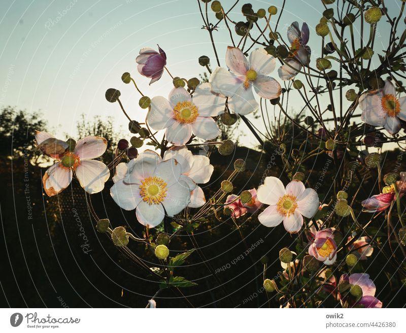 In voller Blüte Herbstanemone Anemonen Blütenblätter Blütenstempel Stengel aufstrebend harmonisch Blatt Gegenlicht strahlend Ausschnitt Detailaufnahme Idylle