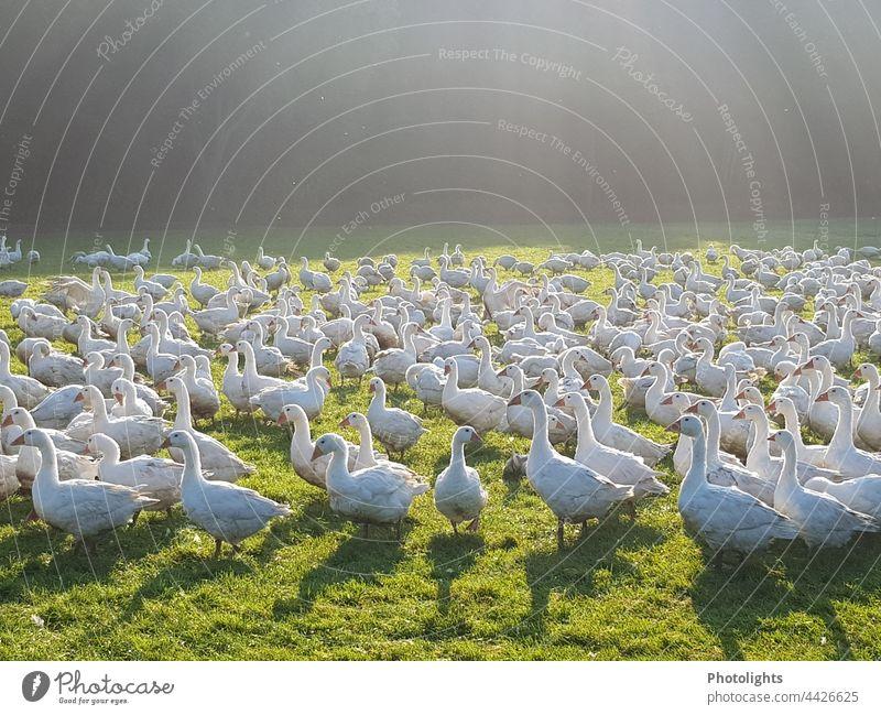 Gänse in Freilandhaltung Gans Umwelt Tier Vogel Natur Außenaufnahme Farbfoto Freiheit Tiergruppe Wildtier Menschenleer frei fliegen Vögel Zusammensein Bewegung