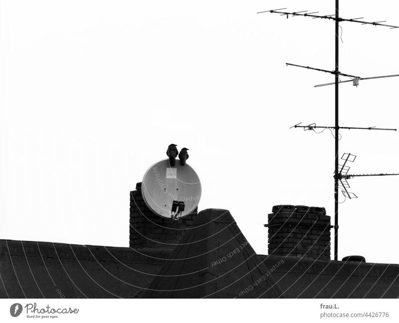 Einträchtig sitzen Antenne Rabenvögel Himmel Krähe Ehepaar monogam Schüssel Dach Dächerlandschaft Stadt Paar