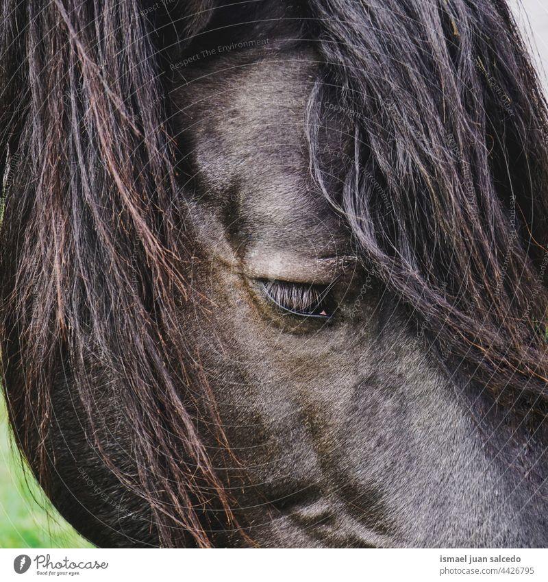 schwarzes Pferd Porträt in der Natur Tier wild Kopf Auge Ohren Behaarung niedlich Schönheit elegant wildes Leben Tierwelt ländlich Wiese Bauernhof Weidenutzung