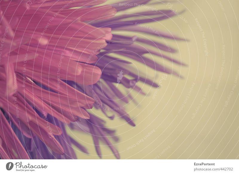 fein Umwelt Natur Pflanze Sommer Herbst Blume Blüte Garten ästhetisch schön natürlich violett rosa rot Astern Blütenblatt Detailaufnahme sanft Farbfoto
