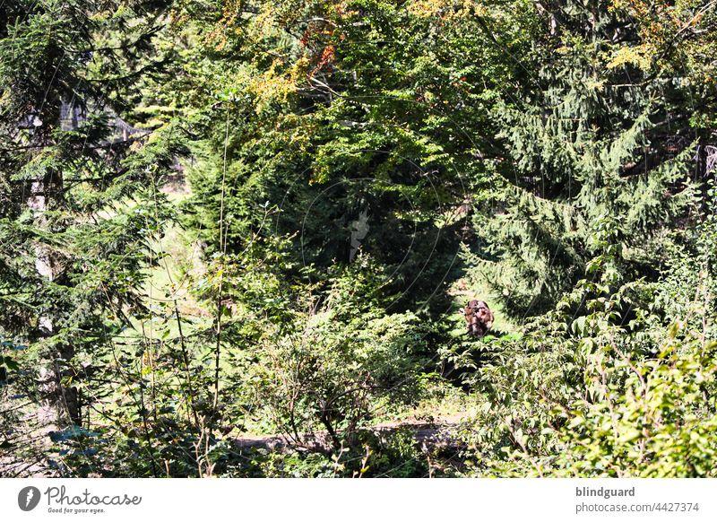 Heute möchte ich euch mal (k)einen Bären aufbinden Baum Busch Wildnis Freiheit Braunbär Farbfoto Menschenleer Wald Außenaufnahme wild Säugetier Tag Wildtier