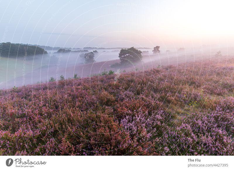 Brunssumerheide im Morgennebel Nebel Nebelschleier Nebelstimmung Menschenleer Nebelbank Nebeldecke Heidekrautgewächse Heidelandschaft lila Blühend Wald grün