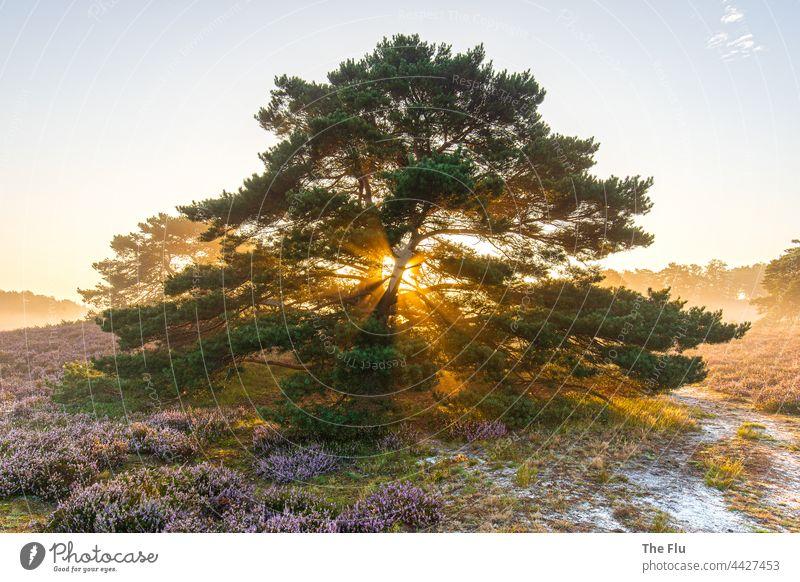 Sonnenaufgang in der Brunssumer Heide - Niederlande Sonnenlicht Sonnenstrahlen orange Kiefer Gegenlicht Farbfoto Natur Dämmerung Sommer Menschenleer Heidekraut