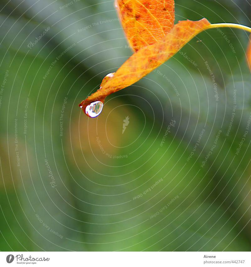 Wie lange noch... Natur Pflanze Wassertropfen Herbst Regen Blatt Herbstlaub Zeichen Tropfen fallen Flüssigkeit nass natürlich braun gold grün rot Trauer