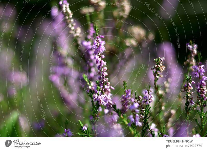 So sehr Heide mag. Heute ist ein Heide Tag. Lieb' ich ohne Klag' Erika Erica Ericaceae Heidekraut Wildwuchs Naturschutzgebiet Umwelt Umweltschutz Artenschutz