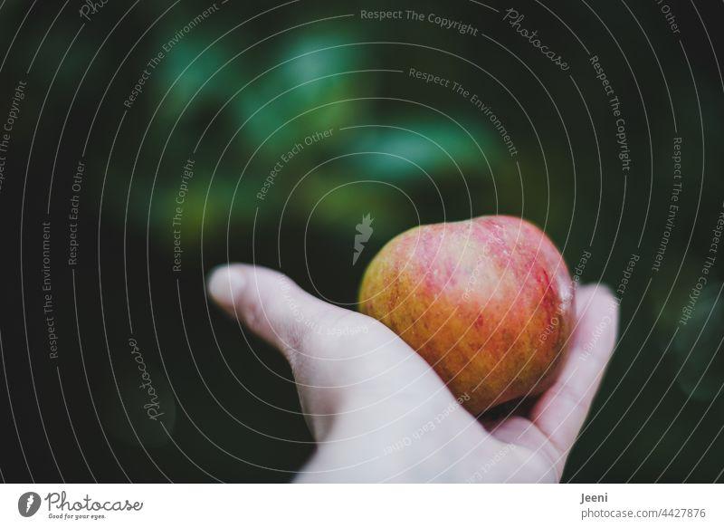 Apfelernte im Obstgarten Ernte Erntedankfest ernten lecker frisch fruchtig Frucht Ernährung Bioprodukte Lebensmittel Gesundheit saftig Herbst