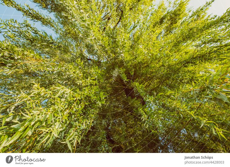 Weide von unten aus Froschperspektive Baum grün Blätter Zweige hängen Grünkraft Natur Zweige u. Äste Umwelt Pflanze Außenaufnahme Menschenleer Farbfoto