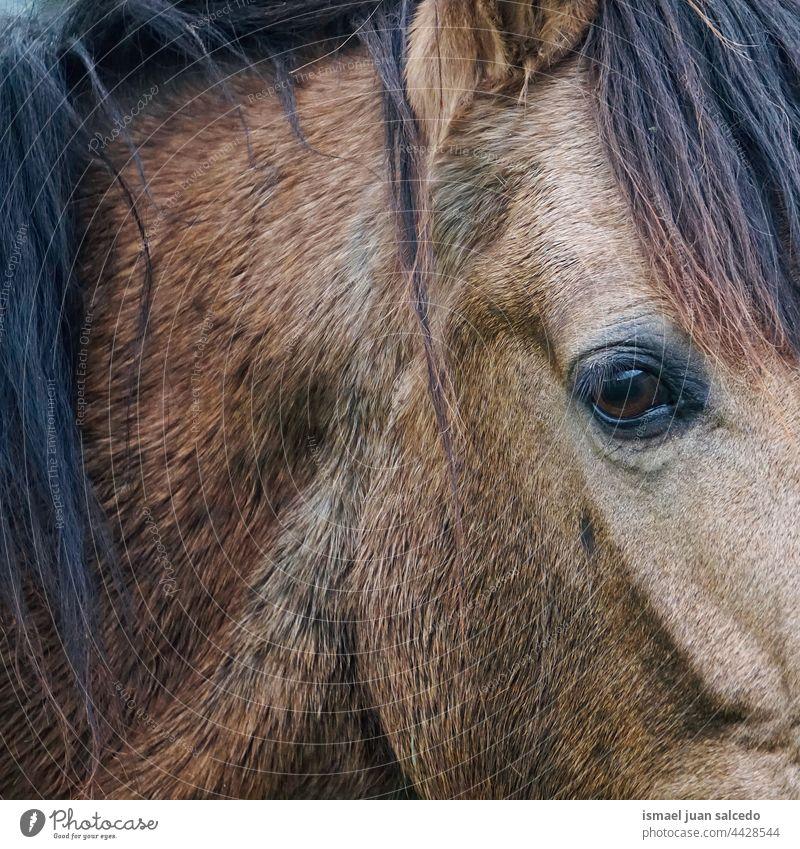 braunes Pferd Augenporträt Porträt Tier wild Kopf Ohren Behaarung Natur niedlich Schönheit elegant wildes Leben Tierwelt ländlich Wiese Bauernhof Weidenutzung