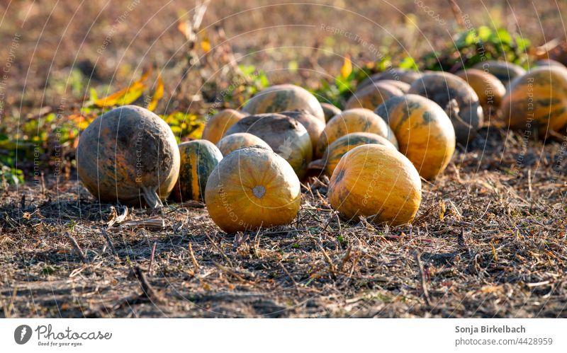 Herbstzeit - Kürbisse in der Abendsonne auf einem Feld liegen zur Ernte bereit - Halloweendekoration Kernöl herbstlich Ackerbau Feldfrüchte gemüseanbau