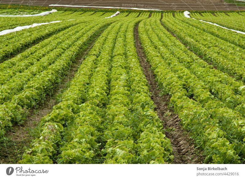 Salat, Salat und noch mehr Salat Feld Acker Ackerbau Agrar Agrarwirtschaft Landwirtschaft Gemüseanbau Nutzpflanze Ernte Lebensmittel Außenaufnahme Sommer Natur