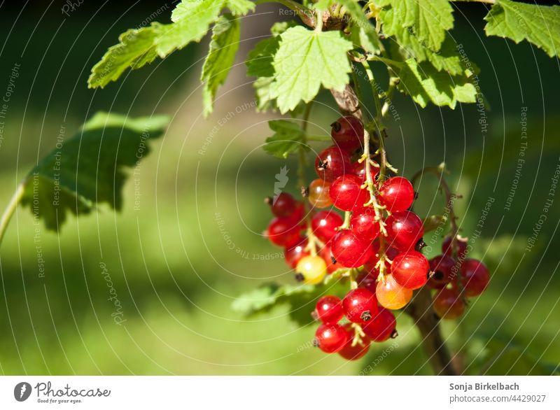 Weisse Ribiseln am Strauch Johannisbeeren Garten Ernte Träuble Meertrübeli Ribiseli Obst Vita inde Nahaufnahme Beeren frisch Sommer lecker Frucht reif gesund