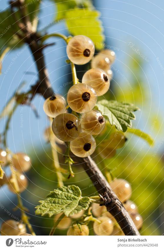 Weisse Ribiseln am Strauch Johannisbeeren weiß Garten Ernte Träuble Meertrübeli Ribiseli Obst Vita inde Nahaufnahme Beeren frisch Sommer lecker Frucht reif