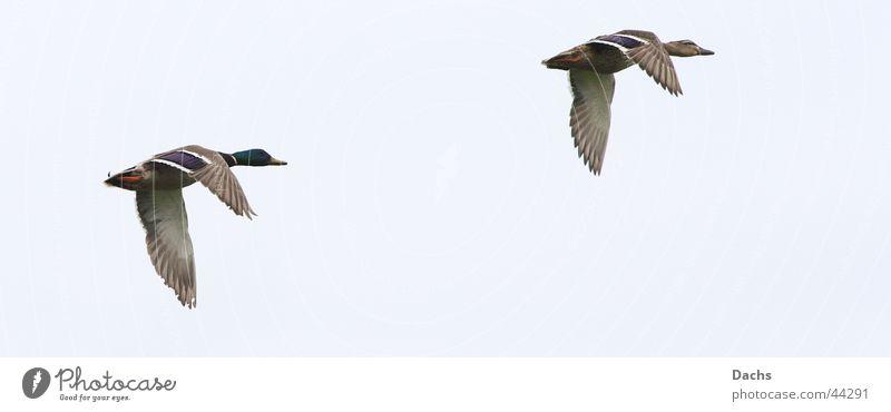 He du wart auf mich Himmel Bewegung Luftverkehr Ente Stockente
