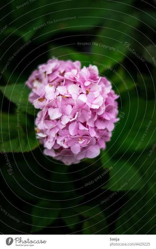 Eine rosa Hortensie am Strauch Blüte Blume Nahaufnahme Farbfoto Pflanze Natur Hortensienblüte Blühend Detailaufnahme Außenaufnahme Garten Schwache Tiefenschärfe