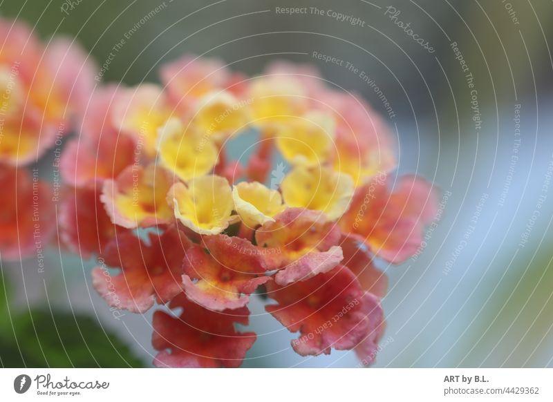 Zweifarbige Blüte/n des Wandelröschen blume blüte beet blumenbeet garten pflanze zweifarbig nähe zusammen nahaufnahme makro