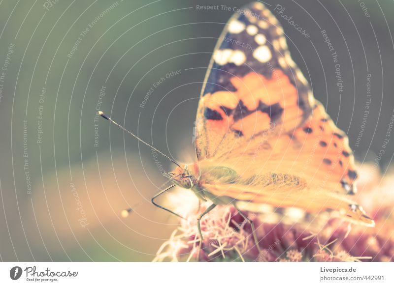 Schmetterling schön Tier klein Essen natürlich orange elegant sitzen Wildtier weich dünn