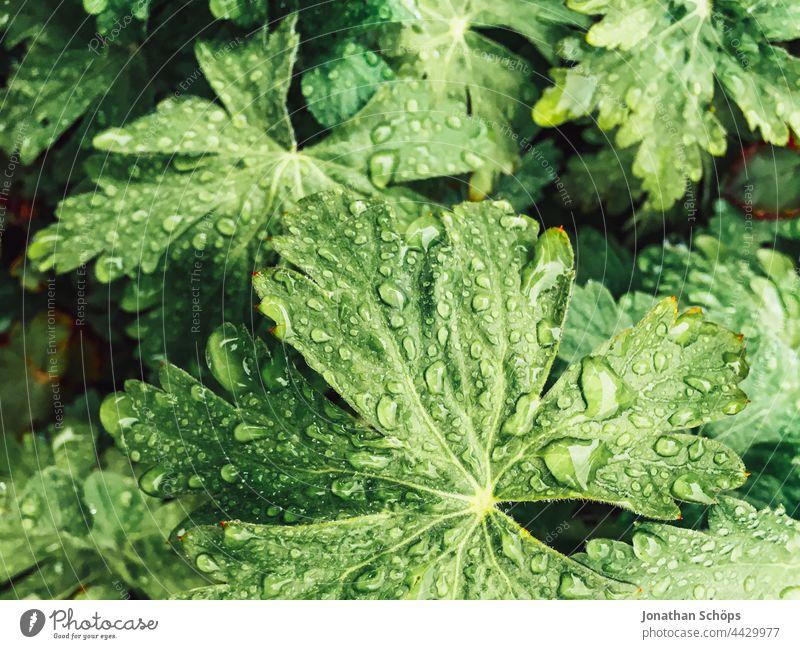Regentropfen auf grünen Blättern Grünkraft nass makro nah natur Tropfen Wassertropfen Natur Pflanze Nahaufnahme Makroaufnahme Detailaufnahme Garten Wetter Blatt