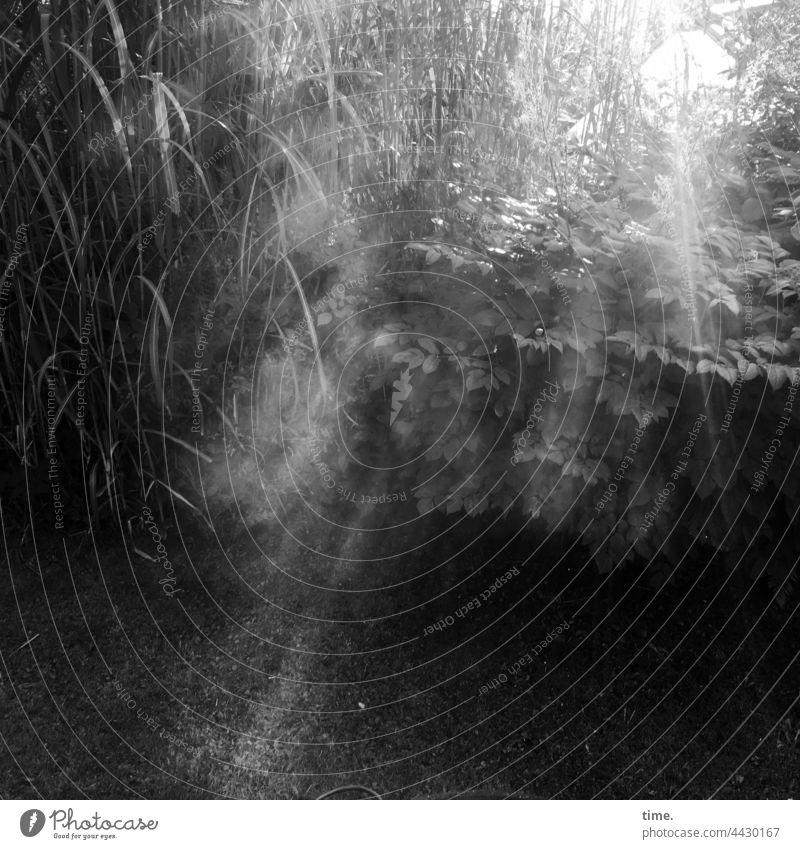 Lichtdusche sonnenstrahlen rauch busch chinagras garten gegenlicht sonnig geheimnisvoll wiese dunst Lichterscheinung leuchten