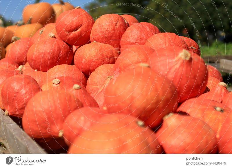 viele kürbisse liegen bereit zum verkauf. hokkaido orange stapel landwirtschaft eigenanbau ernte herbst menge gesunde ernährung bio gemüse frisch Ernährung