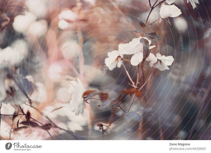 Abstraktes, blumiges Vintage-Motiv mit weißen Rosen und Bokeh Roséwein geblümt altehrwürdig abstrakt mystisch romantische Blumen stimmungsvolle Atmosphäre