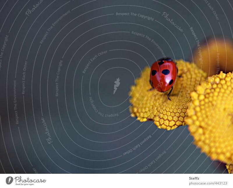 Marienkäfer als Glücksbringer Glückssymbol Glückwünsche leicht Lebensfreude gelb Leichtigkeit krabbeln rot gelbe Blume gelbe Wildblume Sommergefühl einzigartig