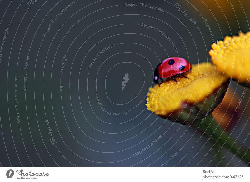 Glückskäfer mit Textfreiraum Marienkäfer Glücksbringer Glückssymbol gelbe Blumen Käfer Lebensfreude blühende Wildblumen Wildpflanzen krabbeln grau rot
