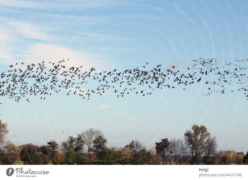 Vogelzug - Unmengen von Wildgänsen fliegen über das Moor Gans Wildgans Graugans Zugvogel viele Menge Himmel Wolken Baum Strauch schönes Wetter Herbst
