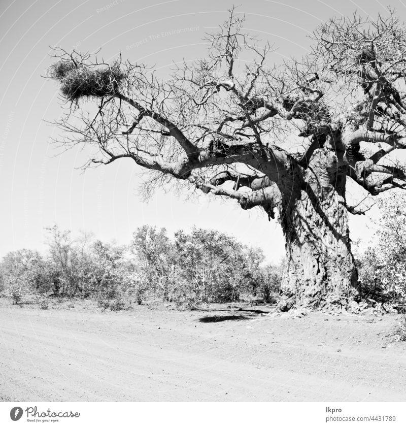 in südafrika straße und baobab Baum Madagaskar Afrika Afrikanisch Landschaft groß Natur morondava riesig Vegetation Flora Pflanze Allee reisen alt Wald tropisch