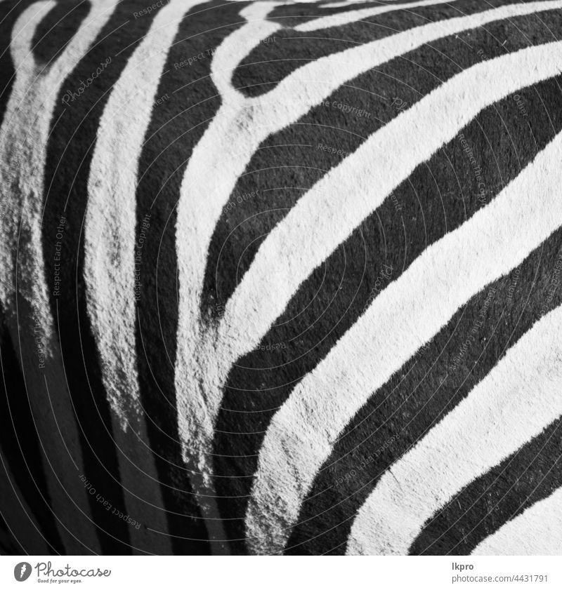wildes Zebrafell abstrakter Hintergrund Haut Tier Muster Textur drucken weiß schwarz Fell Natur Tierwelt Afrika Safari streifen Afrikanisch Design gestreift