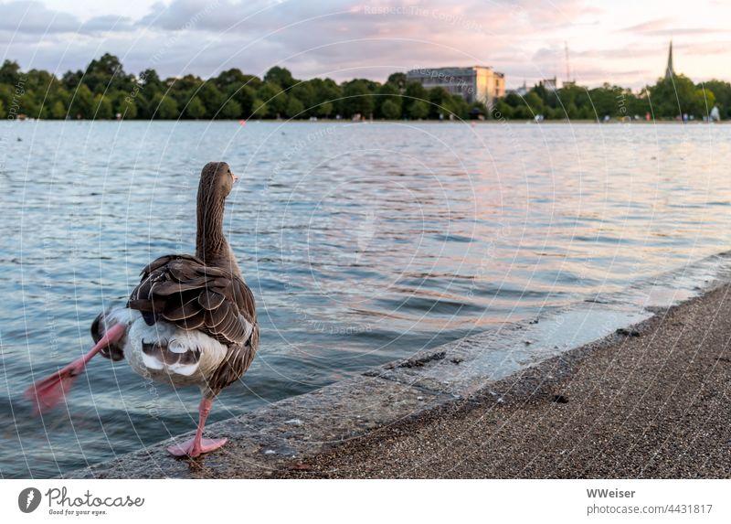 Es muss nicht immer Schwanensee sein, auch eine Gans kann ein schönes Solo am See hinlegen, wenn die Stimmung romantisch ist Füße Vogel strecken tanzen Romantik